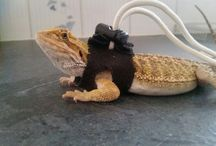 hamish mr loverboy / Bearded dragon