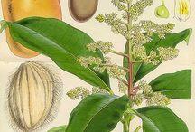 Pflanzen: Mango / Mango + Obst - Früchte / Fruit