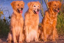 Golden retriever Dog Breed / Golden Retriever is active,lovable,pet friendly,good with kids and other family members