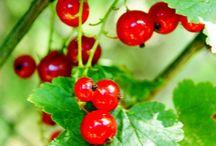 Red Currants - Punaherukka / Tart but Nice