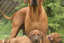 Honden / Rhodesian Ridgebacks