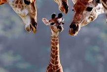 Giraffes / by Judy LeGrand