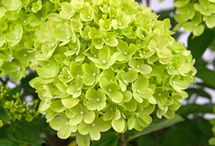 Wedding Colour - Lime / Wow! Brave and beautiful, fresh and fun! Lime is already a key wedding colour but, more often than not, it's because, in bouquets and table decorations, lime coloured foliage can make other colours sing. If you consult a 'colour wheel' you will see that a true lime is complimented by its 'opposite' colour a lovely plum colour, almost cerise or fuchsia.