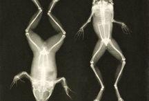 röntgenbild av en groda