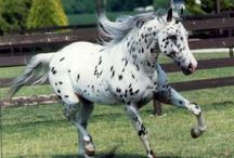 The Appaloosa-horse of legend