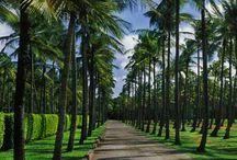 A Thailand Planting
