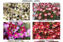 1L FLOWERING ALPINES / Varieties and Colours