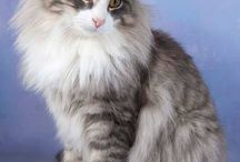 Maine Coons  / Pictures of Maine Coons