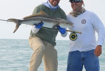 COBIA / Cobia on the fly.  Fly fishing for cobia.