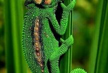 Our Mascot! The Cape Chameleon