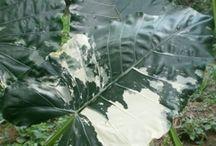 Alocasia / Alocasia Tropical Flowers