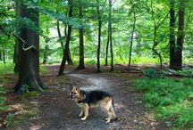 Duitse herders / German Shepherd  my dog Nora