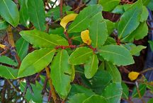Bay Laurel ( Laurus nobilis) / All things related to the medicinal plant bay laurel (Laurus nobilis)