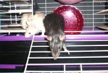 Rats! / Rat care