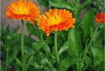 semences-bio / Découvrez des semences bio pour votre jardin certifiées Ecocert. Sur le site semences-bio.com, toutes nos semences sont utilisables en agriculture biologique. Pour bénéficier d'un potager avec des produits bio, n'hésitez plus à venir découvrir un large choix de graines bio.