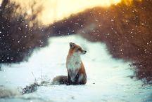 Лисы / О любимом тотемном животном #безпятиминутмужа