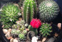 Cactus,Sukulent