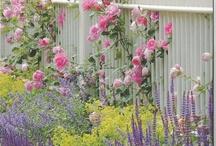 Tuin voorbeelden / Roze rozen met paarse bloemen (kattestaarten) en maagdenpalm?