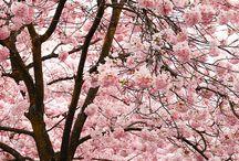 桜      .han