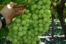culture grapes