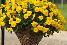 Pansy ~ Trailing