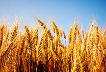 рожь,пшеница