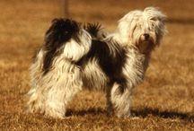 Den Tibetanske hund kommer fra Tibet ikke Kina