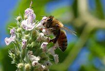 Bee Keeping / Honey Bees