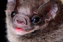 bat - Diphylla ecaudata