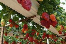 jordbær ide