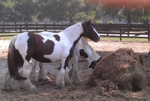 Gypsy Vanner Horses / My favorite horse breed established by Mr. Thomspon from Florida.