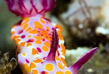 Nature - nudibranch
