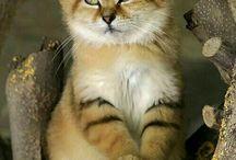 17. Katzen (arabische Sandkatze) / Sandkatze, Wüstenkatze