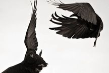 »the raven cycle« / by: Maggie Stiefvater