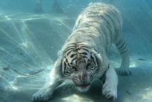 Τιγρης και λιονταρια