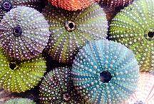sea ursins