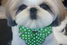Shih tzu grooming / Adorableness