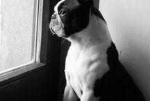 Boston terrier / Our Boston terriers in Meadow - Sweet Bostons kennel