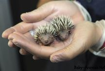 Baby hedgehog / Baby hedgehog pictures