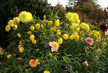 Dahlia; private gardens, blogs collectors