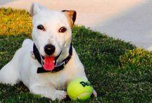 Jack Russell Terrier / Jack Russel Terrier