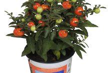 Nico van Os / Solanum / Solanum Pseudocapsicum