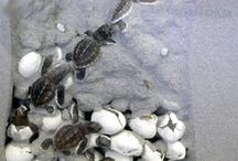 nido tartarughe marine