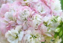 plante de interior - muscate si geranium