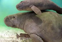 Florida Manatees / Florida is one of the most popular places in the world to observe manatees! These gentle 'sea cows' inhabit slow moving waters in and around Florida, constantly grazing sea grasses and other vegetation.