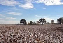 Alabama Cotton / Cotton grown in Limestone County, AL