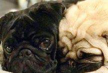 Pugs are my life ❤️