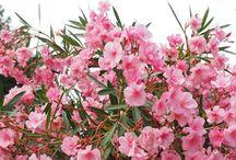 virágok leander