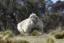 Australie: Pauvre mérinos