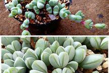 Cactus/ gardening